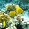gele-koraalvlinder-2