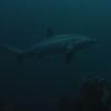 Tresher Shark / Voshaai