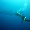 whale-shark-philippijnen-800x600
