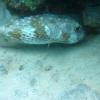 img_0085-geelgevlekte-egelvis