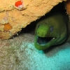 img_0617_green-moray-eel_site