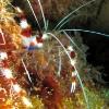 img_0627_banded-coral-shrimp_site