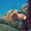 img_0742_spotted-trunkfish_site