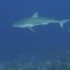img_1965_shark