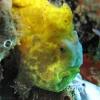 img_4034_frogfish