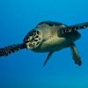 img_3432_hawksbill-turtle