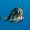 img_3459_honeycomb-cowfish
