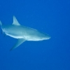 img_3717_shark