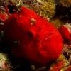 img_3886_frogfish