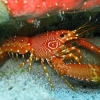 img_5144_caribbean-flamed-lobster