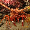 img_5247_banded-lobster