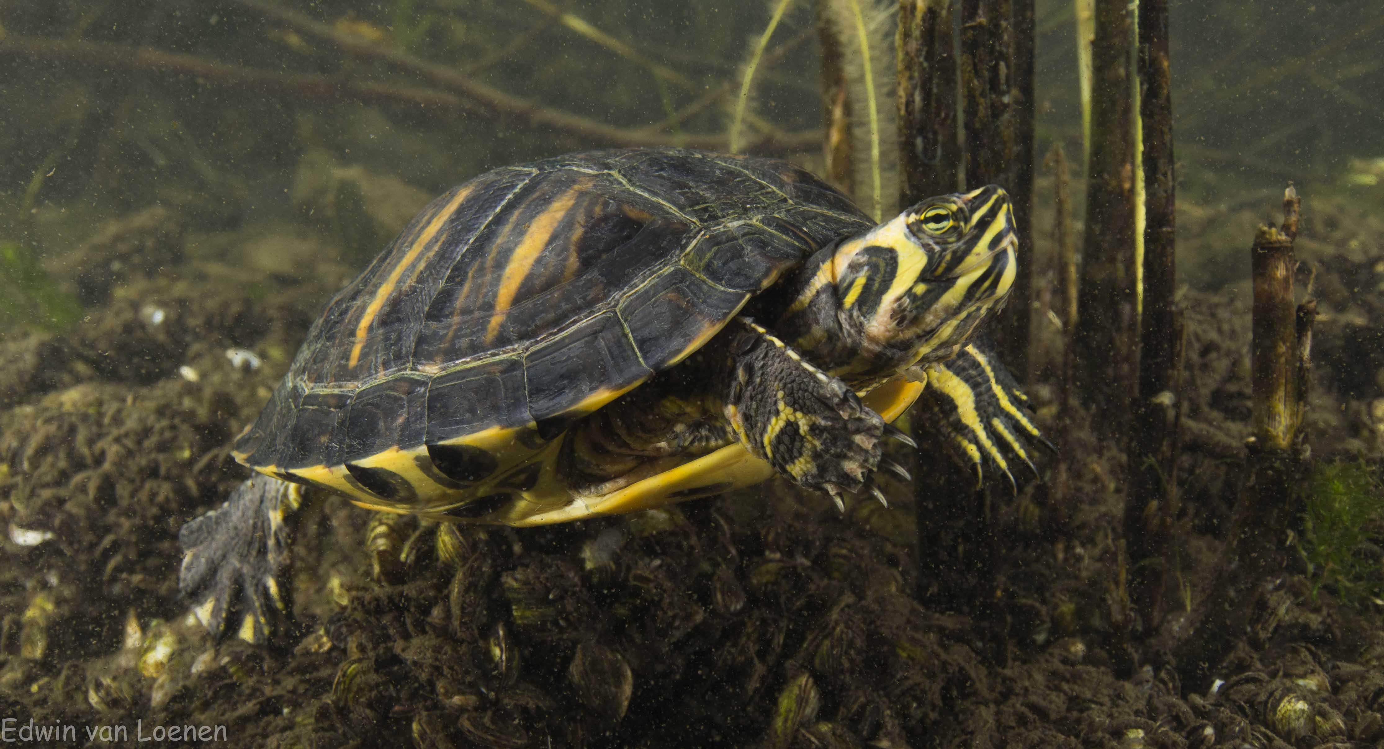 Schildpad @ Haarlemmermeerse Bosplas