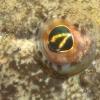 Zeedonderpad oog