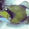 blauwvintrekkervis-2