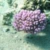 struikkoraal-pocillopora-verrucosa-2