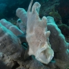Giant Grey Frogfish