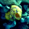 yellow-sea-squirt-1600x1200