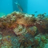 img_0808_spotted-scorpionfish_site