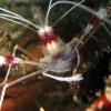 img_2651_banded-coral-shrimp_site