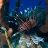 img_1971_lionfish