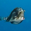 img_3459_honeycomb-cowfish