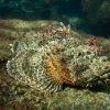 img_3801_spotted-scorpionfish