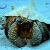 img_5326_giant-hermit-crab